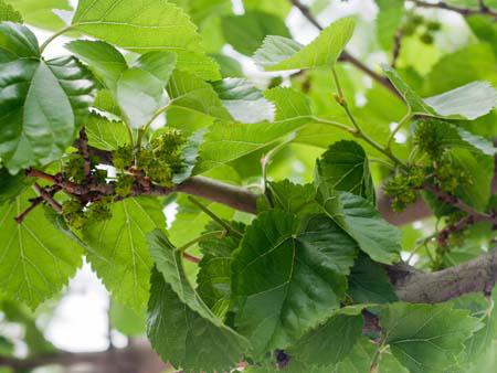 Unripe mulberries, very common in the region