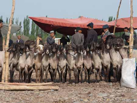 Goats lined up at the Kashgar livestock market