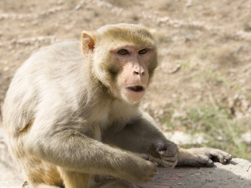Indian Monkey Images Monkey temple is actually a