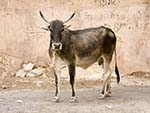 Cow on the winding path in Aravalli Hill