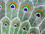 The intricate feathers on the peacock