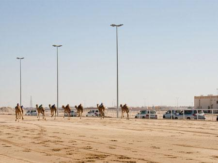 Camels racing and Land Cruisers following