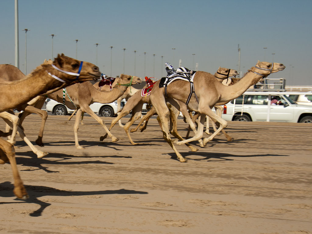 day at the camel races, Qatar  Sonya and Travis