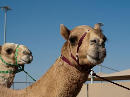 Camel with Qatari coloured harness