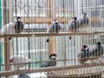 Java Sparrows at animal souk